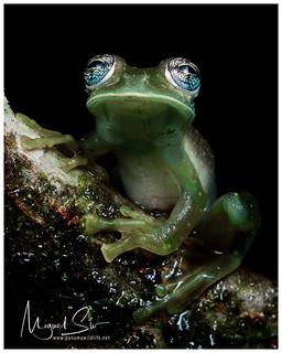 Cascade Glass Frog or Yellow-flecked Glassfrog / Rana de Cristal