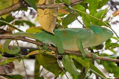 Madagascar-2998-_DSC2576 (beppevig) Tags: madagascar africa animali animals wild chameleon camaleonte