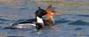 Sweet (Explored 19-01-18) (redmanian) Tags: redbreastedmerganser bird ianredman