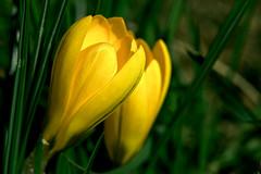 Back In Life (wowafo) Tags: krokus winter sony alpha 6000 blüte gelb