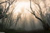 Deep in the woods (Daegal Almond Photography) Tags: victorianhighcountry daegalalmondphotography 4x4 offroad adventure travel explore craigshut kingshut australia victoria trees bush fog misty earlymorning camping