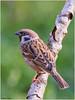 Tree Sparrow (fausto.deseri) Tags: treesparrow passermontanus passeramattugia wildlife nature birds wildanimals nikond7100 nikkor300mmf28afsii nikontc17eii faustodeseri