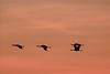 Grues cendrées - Camargue (Marc ALMECIJA) Tags: grues cendrées oiseau bird aves vogel nature natur wildlife sunrise lever soleil vol amateur outside outdoor sony rx10m3 ciel animal coucher de