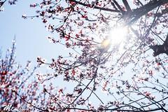 Flowers (M.cLiu) Tags: flower flowers tree sun sunday sunrise sanjose milpitas california sakura nature love flowerlover light sunlight street lookup spring springtime red blue color nikon d750 nikond750