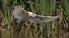 royal spoonbill (Platalea regia)-0083 (rawshorty) Tags: rawshorty birds canberra australia act jerrabomberrawetlands