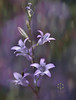 Rampion Bellflower (Zara Calista) Tags: campanula rapunculoides campbell blue purple nikon plant flora bokeh dof