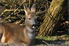 Roe Deer enjoying some morning sunshine on a cold morning (JerryGoulet) Tags: britishwildlifecentre uk nikon d500 roedeer animal deer exposure wildlife wilderness lowlight highiso mammals colours furcoat tree mammal sigma150600 grass nature outdoors out ears faces portrait nose sleepy
