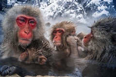 Group of Monkeys (moaan) Tags: yamanouchi nagano japan monkey snowmonkey japanesemacaque monkeyfamily bathingmonkey onsen hotsprings jigokudani jigokudanispa jigokudanisnowmonkeypark ricohgxr gxrmounta12 superangulon21mmf34 leicasuperangulon21mmf34 utata 2018 closeuo