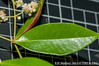 2013-08-10 TEC-3229 cf. Myrcia splendens - E.P. Mallory (B Mlry) Tags: tec a10 androecium belize belizedistrict belizezoo ca5 co45 calyx corolla cymose flora idd leavesopposite leafstructure leafbottom lflowersurfacelightgreen myrtaceae myrciasplendens simpleleaf tbz tropicaleducationcenter abaxialsurface collectingvein colleters compoundcyme compoundinflorescence crosssection exsitu flower flowerbuds foliage getidconfirm glandularhairlikestructuresassociatedwithpetioles greenstem greenishwhitecalyx grid1cm habitat hairycalyx hairypetals hairypetioles hairystem indumentum indumentumcolored leafmidribdepressedontop leafmidribswollenbelow palepinkanthers pedunclehairy pellucudpunctations prominent sepals shortpetioles stem stipules surface synmyrciabelizensis synmyrciaoerstediana synmyrciaschippii tallos terminalinflorescences thyrse topofleafshiny twigsterete underneathleafhairyalongcosta whiteanthers whitefilaments whitepetals democracia