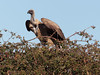 20170720-094818-00184B- (hugoholunder) Tags: okovangodelta botswana afrika geier