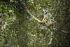 Diademed Sifaka (Daniel Trim) Tags: diademed sifaka lemur propithecus diadema mammal madagascar africa wildlife natuire andasibemantadia national park andasibe