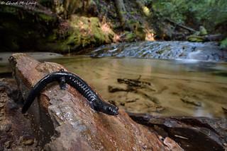 Santa Cruz Black Salamander (Aneides flavipunctatus niger)