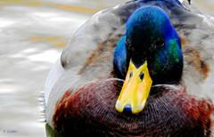 duckident art (gshaun12) Tags: ducks bird art animals nature fantasticnature macro macrodreams wildlife water