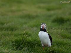 Lundi (dieLeuchtturms) Tags: lunde alkenvögel ingólfshöfði europa austurland island 4x3 wirbeltiere regenpfeiferartige skeiðarársandur papageitaucher europe fraterculaarctica iceland puffin is
