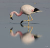 "Andean Flamingo (""DEB"") Tags: rare andeanflamingo chile atacamadesert flamingo saltflats salardeatacama bottomfeeder losflamencosnationalreserve"