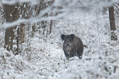 Winter boar (Eric Penet) Tags: wildlife wild winter neige sauvage snow animal avesnois france faune forêt février mormal mammifère nord nature hiver froid sanglier boar suidé sus scrofa mammal