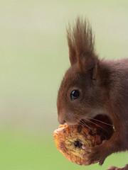 Eichhörnchen/ Red squirrel (Sciurus vulgaris) (ralph_behrens) Tags: eichhörnchen redsquirrel sciurusvulgaris winter 2018 minden nrw germany deutschland olympus oly olympusomdem1markii omdem1markii omd mzuiko300mmf4pro