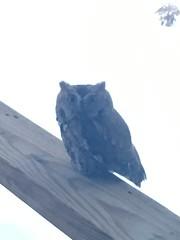 red morph Eastern Screech-owl (Stylurus) Tags: eastern screechowl owl red morph lodi township prairie oaks michigan deck railing