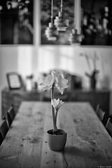 Sa Majesté l'Amaryllis (Mathieu HENON) Tags: leica m240 noctilux 50mm noirblanc blackwhite nb france home table amaryllis plante stilllife