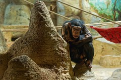 Quiet Conversation (Nikonphotography D750) Tags: monkey sonyphotography sonyalpha e1670mmf4zaoss ilce6500 sonyalpha6500 bremerhaven zooammeer zoo atthezoo neugierig curious affe schimpanse quietconversation