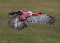 Australian Galah (muppet1970) Tags: galah australian bird flight display banhamzoo zoo captive flying wings feathers pink