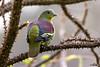 Grey-fronted Green-pigeon (Rakesh Kumar Dogra) Tags: greyfronted greenpigeon treron affinis treronaffinis birdsofindia birdphotography westernghats rakeshkumardogra pigeons