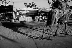 Camel(s) (Karthikeyan.chinna) Tags: karthikeyan chinnathamby chinna canon canon5d 24105 mono monochrome black blackandwhite bw india travel pushkar rajasthan camel animal reflection shadow contrast