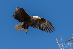 Bald Eagle approach and landing - 14 of 27