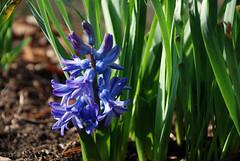2018 Day 55 (Marisa~) Tags: february 2018 burlington hyacinth 365the2018edition 3652018 day55365 24feb18