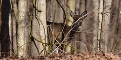Deer Whitetail_9628c (Porch Dog) Tags: 2018 garywhittington kentucky nikond750 nikkor200500mm wildlife nature outdoors lbl landbetweenthelakes betweentherivers february animals
