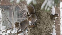Amour des écureuils gris, Québec, Canada - 4915 (rivai56) Tags: écureuilsgris québec canada sony squirrel amour villedequébec ca