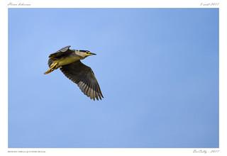 Héron Bihoreau | Black-crowned Night Heron | Nycticorax nycticorax