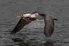 Pied Cormorant in Flight 11 (RoosterMan64) Tags: australia australiannativebird bif birdinflight cormorant nsw nature piedcormorant waterbird wildlife