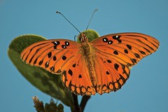 Against A Bright Blue Sky (ACEZandEIGHTZ) Tags: agraulis vanillae nature closeup nikon d3200 butterfly orange blue lepidoptera flying insect coth alittlebeauty fantasticnature coth5 sunrays5 ngc npc