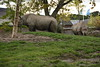 Chester Zoo (793) (rs1979) Tags: chesterzoo zoo chester blackrhino rhino