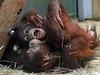 sumatran orangutan Sabbar and daya Ouwehands BB2A1611 (j.a.kok) Tags: orangoetan sumatraanseorangoetan orangutan sumatranorangutan asia azie animal aap ape ouwehands mammal monkey mensaap zoogdier dier sabbar daya