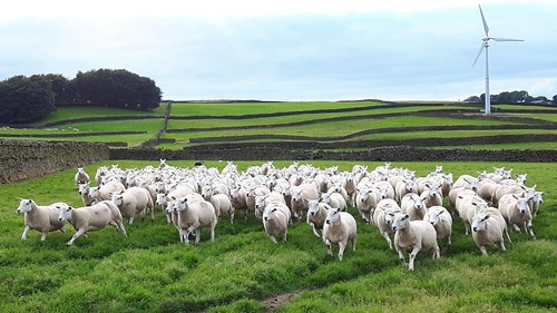 Shearling ewes at home ready for export