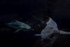 WOW fish (giorgosAnk) Tags: fish wow low key sea ocean black eat eating wildlife wild life open mouth hunt hunting marine aquarium crete greece nature close up water underwater