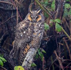 Long-eared Owl (Eric_Z) Tags: longeared owl longearedowl canoneos7dmkii ef100400mmf4556lisiiusm britishcolumbia canada explored