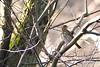 Song Thrush (krystennewby) Tags: bird chaffinch wildlife nature winter thrush british suffolk yellowhammer finch bunting
