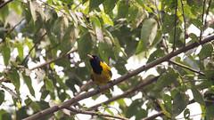 DSC_1486.jpg (naser7363) Tags: blackheadedoriole birds