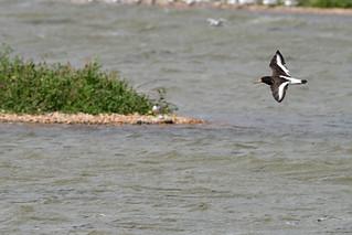 Oystercatcher (Haematopus ostralegus) in flight