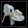 White iris (cienne45) Tags: iris carlonatale cienne45 natale italy