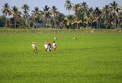 Working in the rice fields, near Alleppy, Kerala. (nick taz) Tags: rice paddyfields workers india alleppy kerala