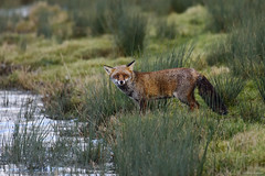 Red Fox (Vulpes vulpes) (Hoppy1951) Tags: slimbridge gloucestershire england uk gbr allanhopkins hoppy1951 slimbridgewwtreserve redfox vulpesvulpes