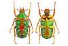 Stephanorrhina guttata(Olivier, 1789) (Easyparadise) Tags: beetle collection coleoptera metal color insect nature animal scarab specimen macro entmology museum cetoniinae biodiversity 昆虫 甲虫