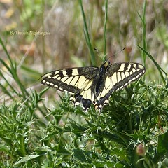 Old World Swallowtail (Thrush-Nightingale) Tags: commonyellowswallowtail common yellow swallowtail oldworldswallowtail old world papilio machaon papiliomachaon grandportequeue grand portequeue porte queue papillon butterfly insecte insect lépidoptère aude