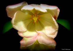 A beautiful tulip! (Toini O Halvorsen) Tags: tulip nature