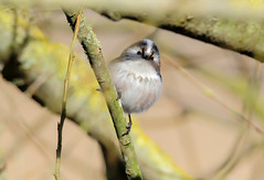 Long tailed tit (badger2028) Tags: long tailed tit aegithalos caudatus