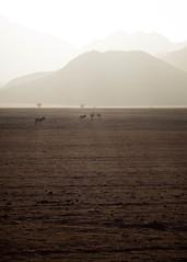Sunset zebras (Melvinia_) Tags: olympusomdem1 namibia namibie desert désert namibrand naukluft namibrandfamilyhideout landscape sand zèbre zebra animal safari africa afrique afriqueaustrale sunset coucherdesoleil geoafrica